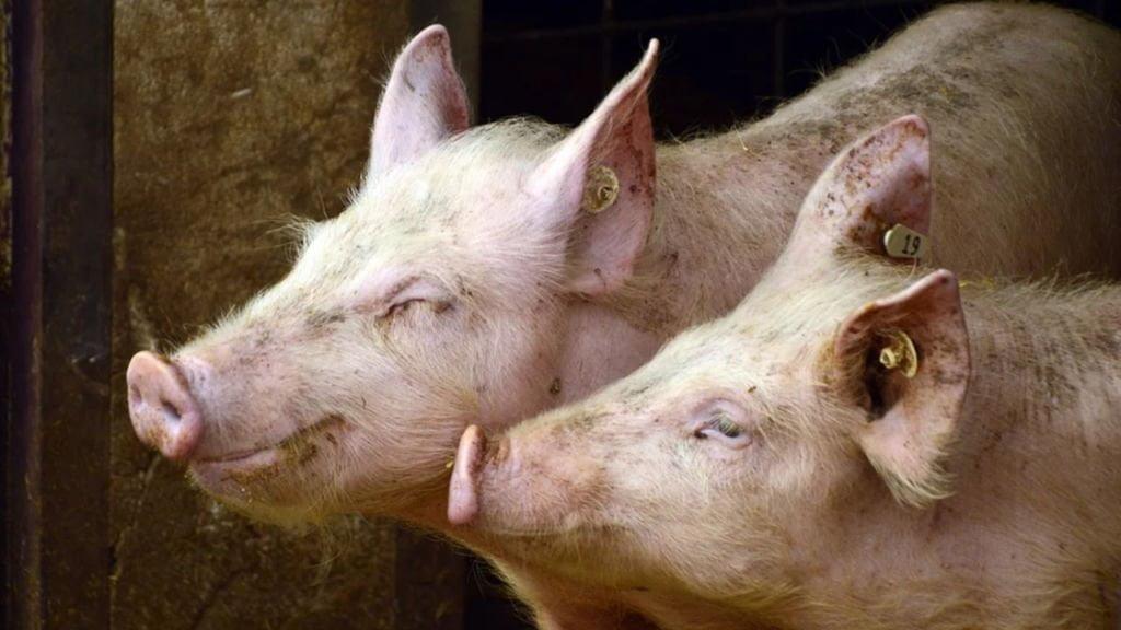 ferma świń w kalsku