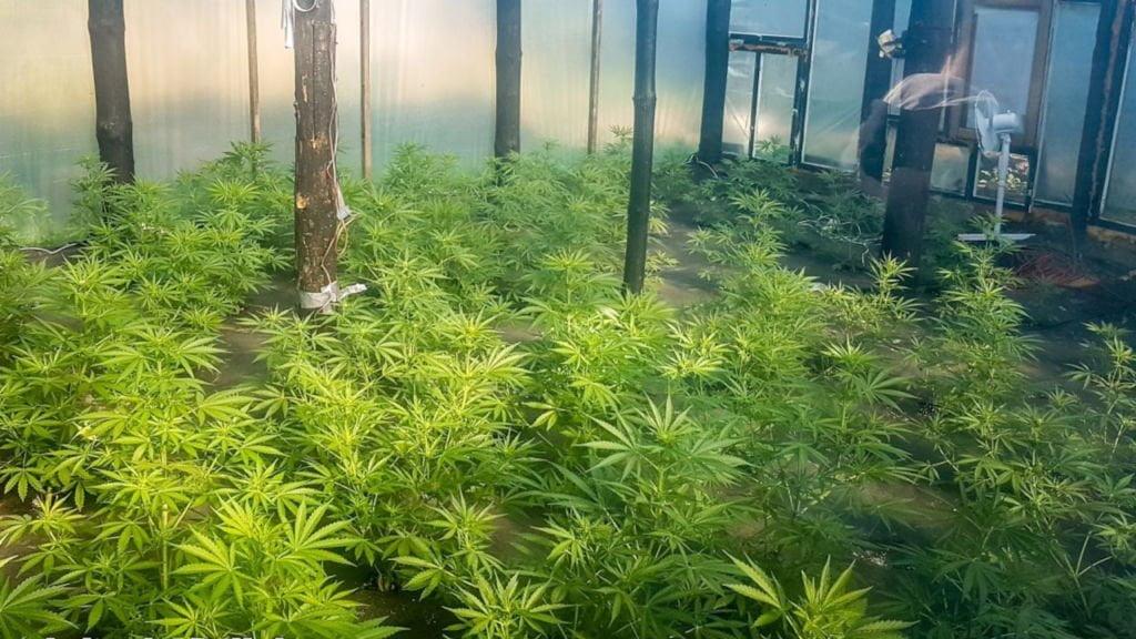 Kryminalni zlikwidowali plantację konopi w Szprotawie. Marihuana w szklarni była warta 78 tys. złotych 1