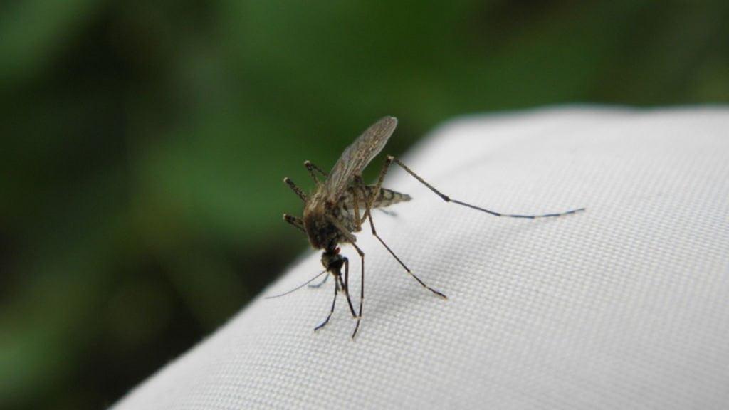 aktywność komarów