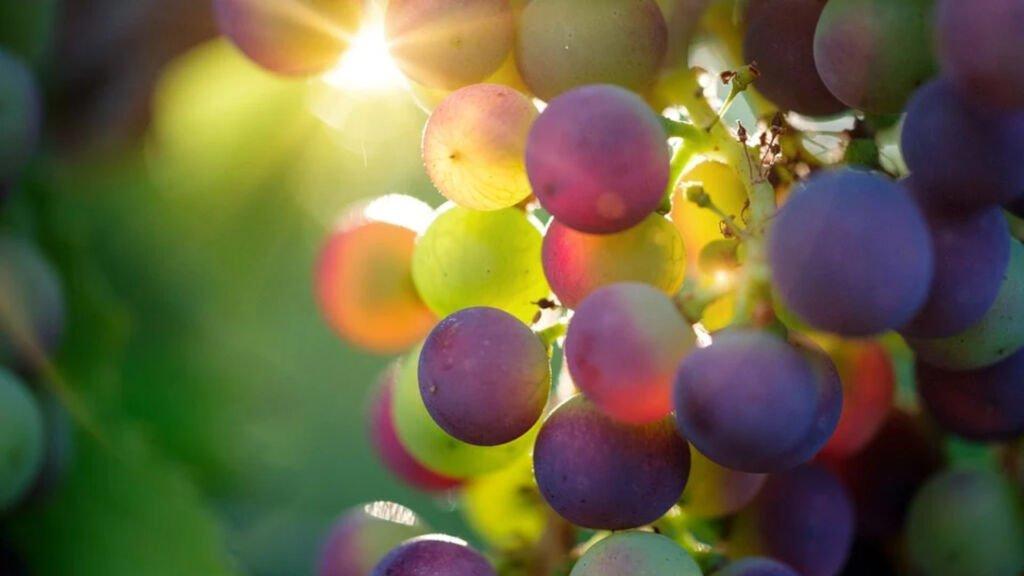 winobranie w zaborze