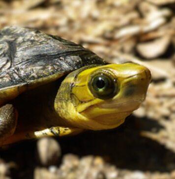 Żółw Cuora