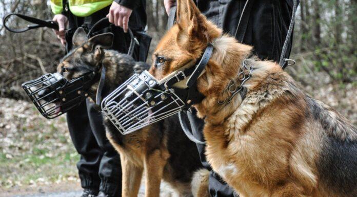 Policyjny pies