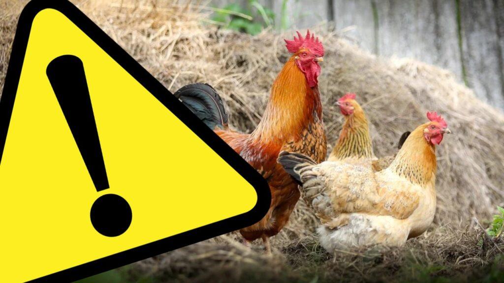 Uwaga! Ptasia grypa w Lubuskiem. Wojewoda wydał rozporządzenie