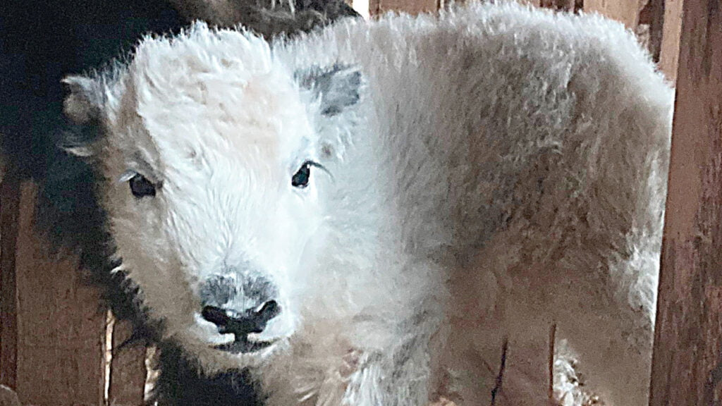 Biała jak śnieg cieliczka jaka przyszła na świat w Zoo Görlitz. Białe jaki rodzą się niezwykle rzadko