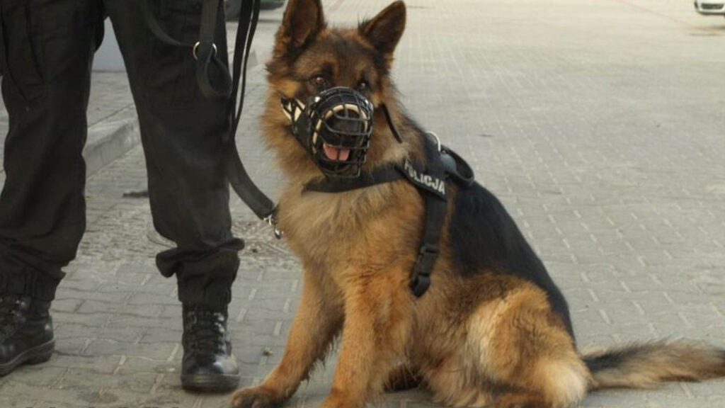 Policyjny pies Alex odszedł na emeryturę. Zamieszkał ze swoim przewodnikiem