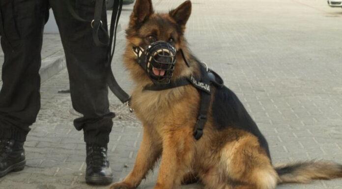 Policyjny pies Alex