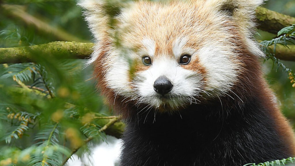 Młoda samica pandy czerwonej z Holandii wprowadziła się do Naszego Zoo