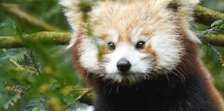 Panda czerwona Zayah