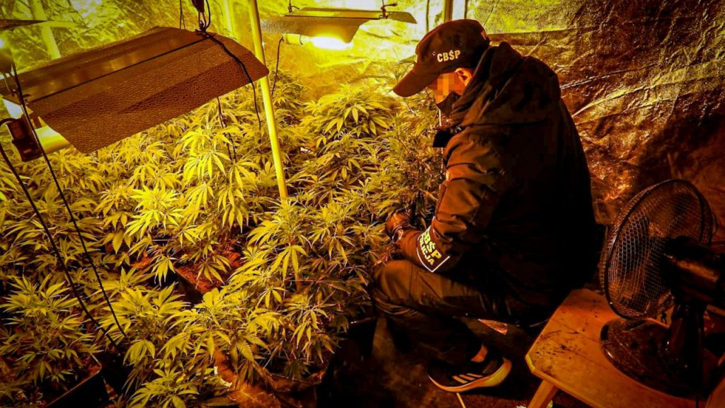 CBŚP zlikwidowało plantacje konopii i przejęło narkotyki. Zatrzymane 3 osoby