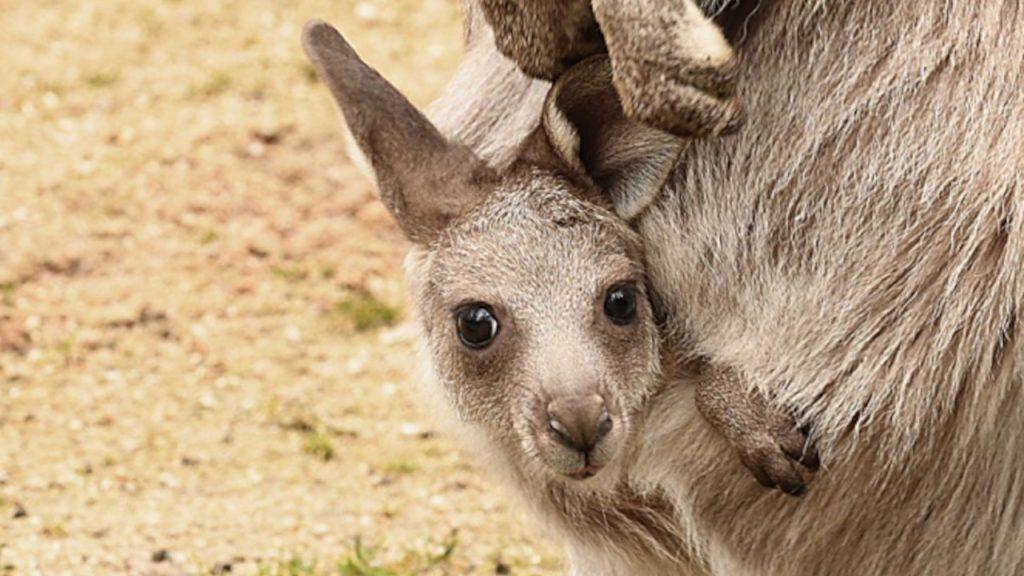 Trzy torby pełne kangurów