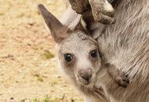 Młody kangur