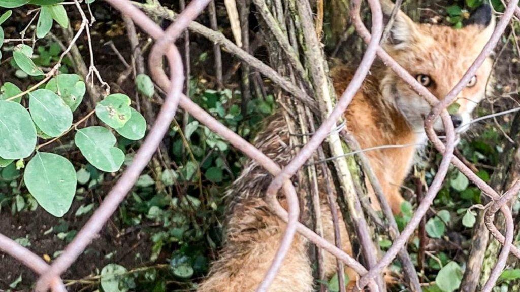 Policjanci i miłośnik zwierząt uratowali lisa, który wpadł w sidła