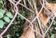 Lis złapany we wnyki
